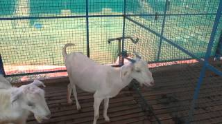 Tirunelveli India  city photo : Boer Goat Farm India - Goat Farm Tirunelveli.