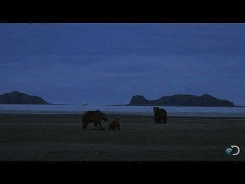 Momma Bear Defends Her Cub | Great Bear Stakeout