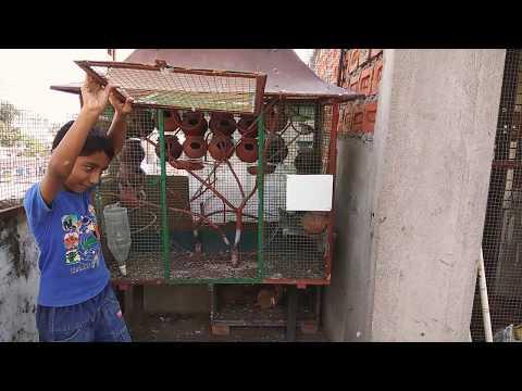 Birds Releasing || India || Birds || Diamond Dove India || Dove || Birds Fly Cage To Aviary
