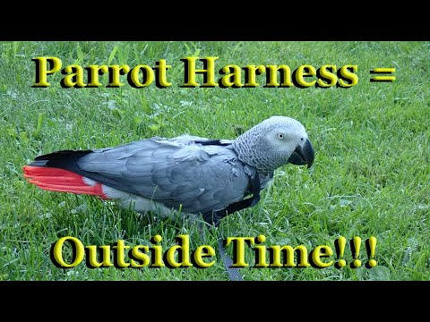 34 year old parrot walking on grass for the first time... Enjoying Time Outside [Parrot Adventures]