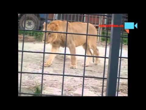 Lví rodinka v zoo Dvorec u Borovan 1.11.2015, otec a syn
