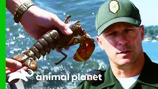 Teenage Fisherman Caught With Illegal Breeding Lobster | North Woods Law by Animal Planet