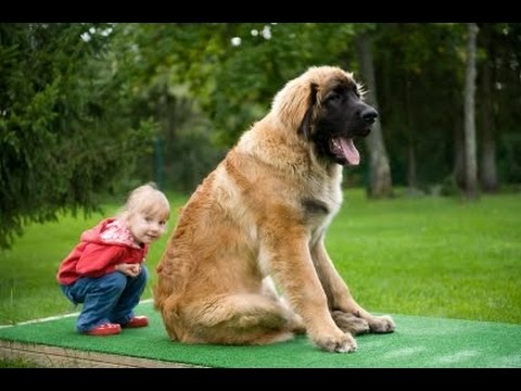 leonberger the leon king