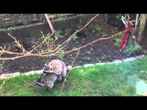 """Raccoon Does """"The Heimlich Maneuver"""""""