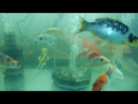 錦鯉飼育開始29
