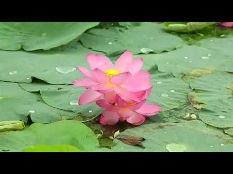 Naturwunder Lotussee in Sibirien - Besucher aus der g ...