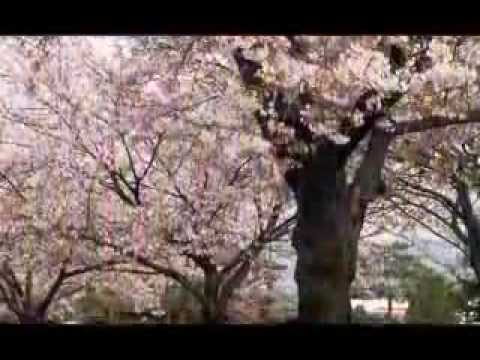 Sakura (kiraz çiçeği) 桜 花 见