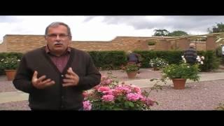 #118 Englische Rosen in Kübeln und Töpfen