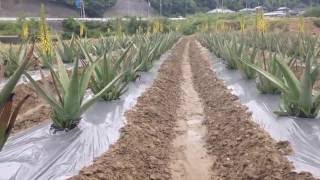 Hidaka-cho Japan  city pictures gallery : ALO-EN Aloe vera field Movie_02 アローエン アロエベラ畑 和歌山県 日高町