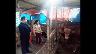Lãnh đạo thành phố kiểm tra công tác phòng chống rét cho đàn trâu, bò trên địa bàn thành phố