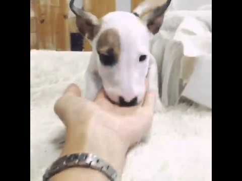 Cute Bull-terrier puppy called Hoony playing around