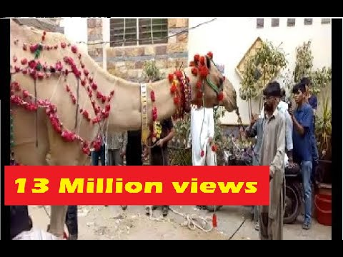 Shah Faisal Colony 2 number but Sahab Qurbani camel 2 day 2018