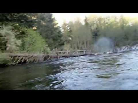 Bald Eagle takes fish right off my fly line and goes for a run