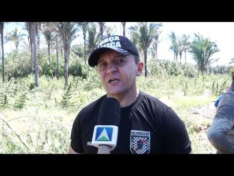 Encontrada plantação de seis mil pés de maconha em Miguel Leão