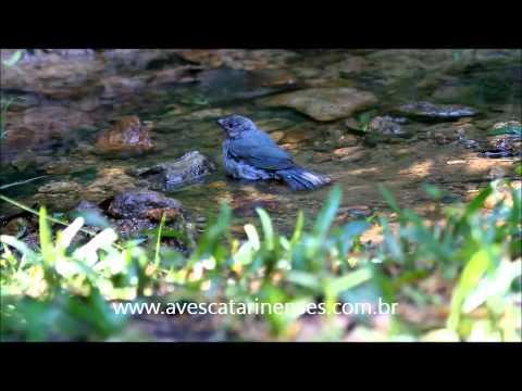 Sanhaçu-de-encontro-azul - Cristiano Voitina