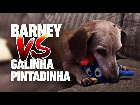 GALINHA PINTADINHA X BARNEY