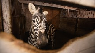 Exotic animals at a roadside zoo in Canada are rescued by The Humane Society of the United States