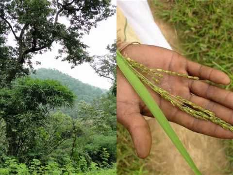 Medicinal Rice T9 Based Formulations For Stammering: Pankaj Oudhia's Medicinal Plant Database