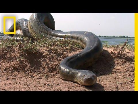5 Grown Men Vs. 1 Big Snake   National Geographic