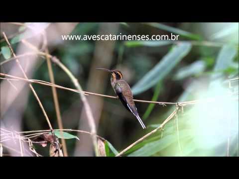 Beija-flor-rabo-branco-da-garganta-rajada - Cristiano Voitina
