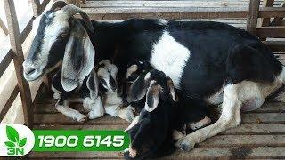 Chăn nuôi dê | Chữa trị bệnh tụ huyết trùng kế phát chướng hơi dạ cỏ ở dê