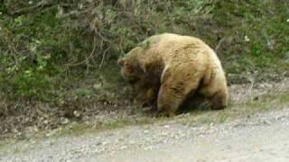 Video Bear Attack in Denali Alaska 2008 MP3, 3GP, MP4, WEBM, AVI, FLV Juli 2017
