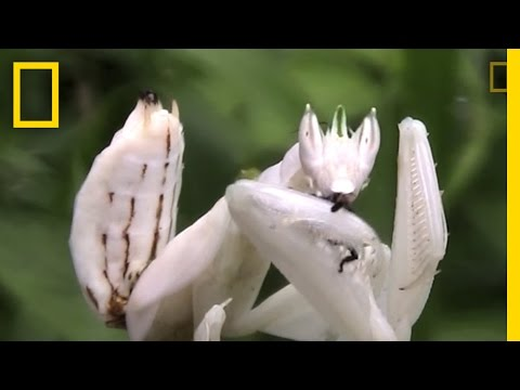 Incredible Disguise Praying Mantis Mimics Flower