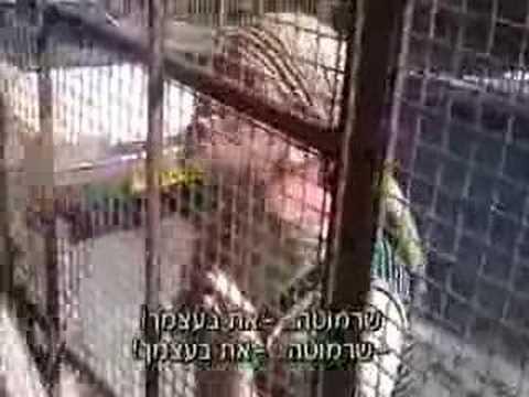 sharmouta - הסרטון צולם בידי רג'אא אבו-עיישה בת ה-16, הסרטון מתאר רגע מחייה, שבו מתנחלת מנסה לסגור אותה בביתה המכונה