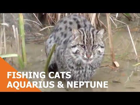 這群泰國民眾在家附近撿到一隻流浪幼貓,調查後發現竟然是瀕臨絕種的「稀有游泳貓」!