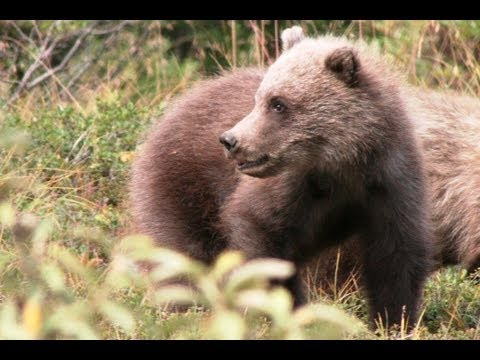 briczar22 - GRIZZLY CUBS & LOOKING for LYNX Safari Alaska 7. Come with us as we dived and conquer the Denali Park. See who had the better safari. GRIZZLY BEAR http://en....