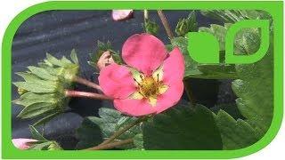 Die Züchtung rosablühender Erdbeeren bei Lubera