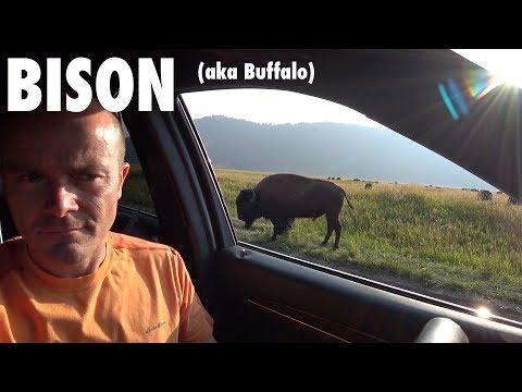 Bison (aka Buffalo) Photography in the Tetons