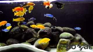 22.april.2012 Labidochromis sp.Hongi 2 - 7cm pseudotropheus flavus 2 - 7cm pseudotropheus demasoni 6 - 5cm...