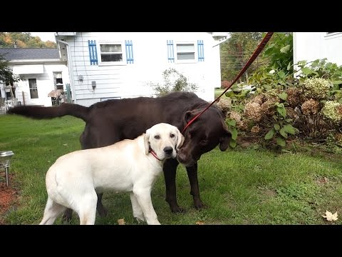 Yellow Lab Meets Chocolate Lab!