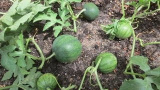Our favorite watermelon variety: http://amzn.to/2aN3y5K Pruning watermelon plants will increase your yield, improve the fruit...