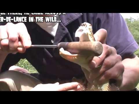 Video Ultimate Pit Viper Bite; Bear Grylls' Producer Deadly Snake Bite YouTube download in MP3, 3GP, MP4, WEBM, AVI, FLV January 2017