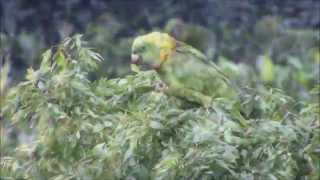 Yellow-naped Parrots in Guanaja