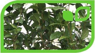 Echten Tee aus dem eigenen Garten ernten