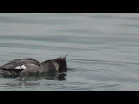 Red-breasted Merganser Feeding