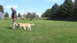Alex and Aria Practicing Off Leash Heel in the Yard