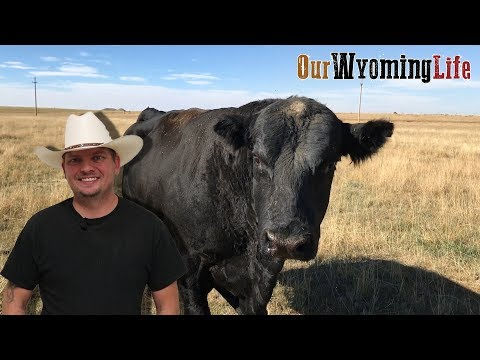 Moving Bulls - Vital Functions Of The Ranch