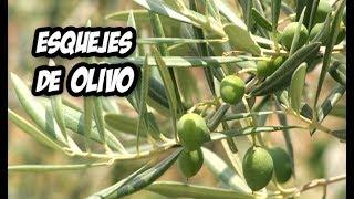 En el vídeo de hoy te enseño a reproducir un olivo mediante esquejes. Es una técnica muy sencilla con la cual tendremos nuevas plantas totalmente gratis. Si queréis que prepare un vídeo con mi receta ultra secreta de hormonas de enraizamiento dejádmelo en los comentarios.SUSCRÍBETE: http://goo.gl/8sVZ6q.................................................................................................................................Sígueme en las Redes Sociales :Instagram: https://goo.gl/OlvYhTTwitter: https://goo.gl/6nftVyFacebook: https://goo.gl/LpkmbUMi blog: http://www.lahuertadeivan.com.................................................................................................................................Puedes apoyarme en Patreon: https://www.patreon.com/lahuertadeivan