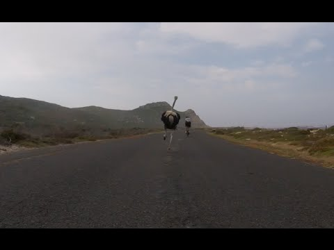 Cyclists chased by an ostrich