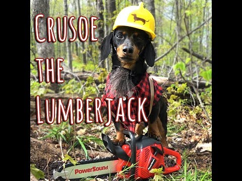 Crusoe the Lumberjack Wiener Dog