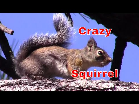 Crazy Squirrel Will Drive Your Dogs And Cats Nuts