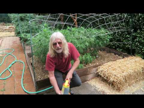 Cannabis Cultivation: Activated Aerated Compost Tea (AACT)