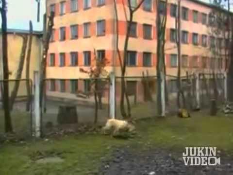 Chó chơi Parkour