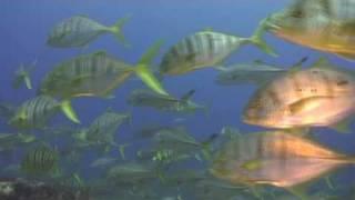 http://www.deeper-blue.org Petite incursion sous marine au Nord de Mahé l'île principale des Seychelles sur le site d'Ennerdale...