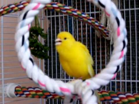 Canary - Cooper in his cage singing.