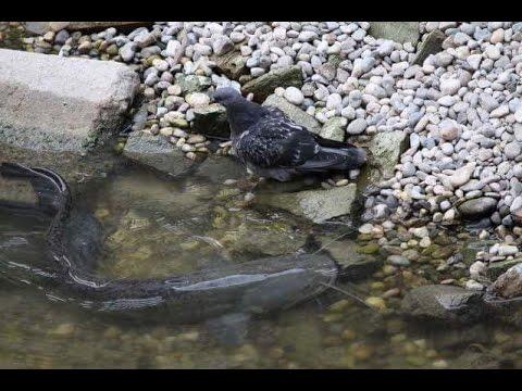 pesce siluro mangia piccione in slow motion